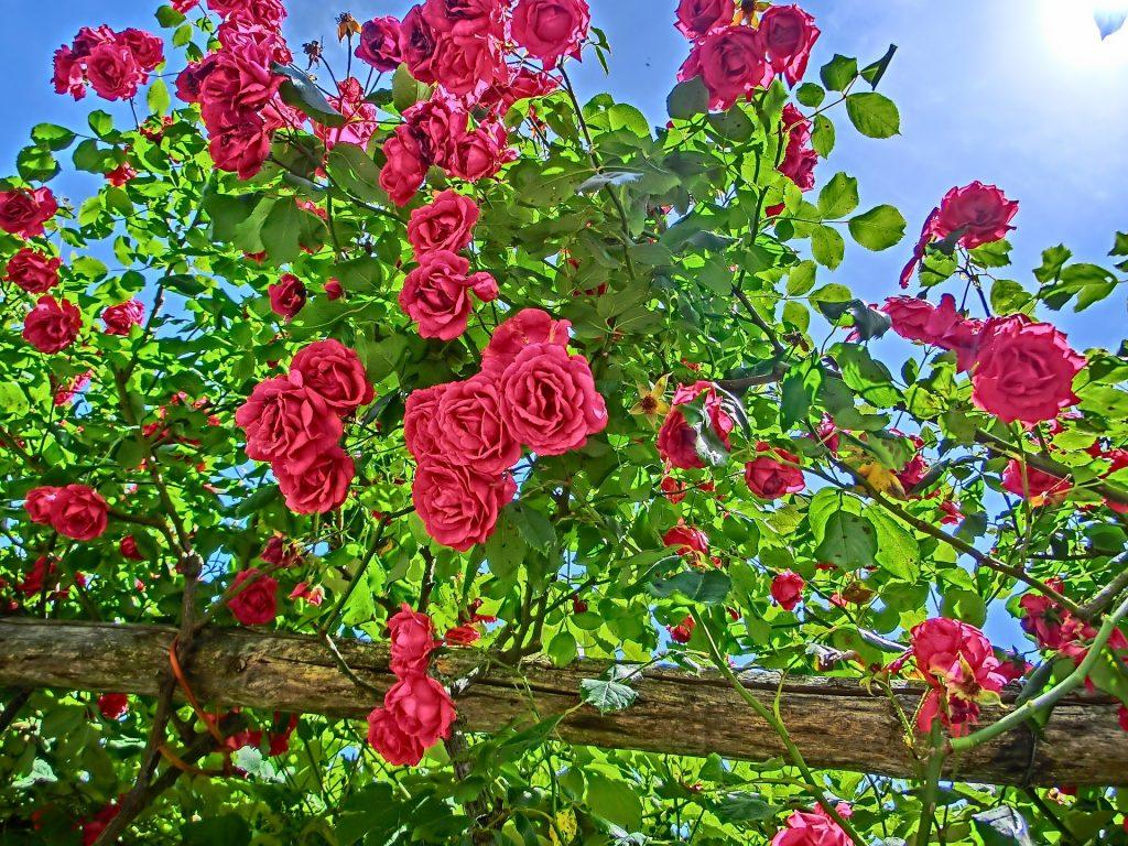 Together Poem - The Long Length of Hedging Roses