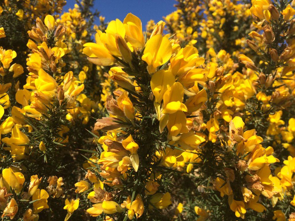 Gorse - Plant Poem